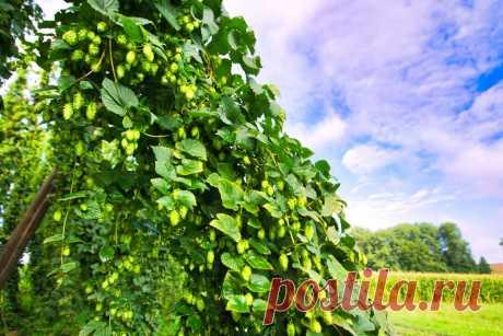 Планирую выращивать хмель для здоровья, бизнеса и красоты   Дом+   Яндекс Дзен
