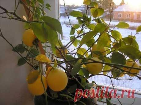 Лимон сбрасывает листья — что делать и как его оживить