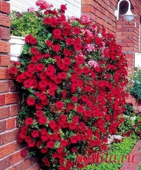 Как прищипывать петунию, чтобы она шикарно цвела?  Чтобы петуния радовала вас пышным цветом, за ней нужно правильно ухаживать. Не забудьте своевременно прищипывать и удалять ее верхние отросшие побеги. Если растение не корректировать, то оно не будет куститься, уйдет полностью в рост, а это испортит его внешний вид. Начинайте прищипывать петунию, когда растение «пойдет в стебель» (то есть начнет стремительно расти вверх). Отсчитайте от низа стебля 3-5 листочка и отщипните ...
