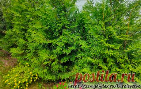 Как посадить живую изгородь из туи не потратив ни копейки | Куролевство | Яндекс Дзен
