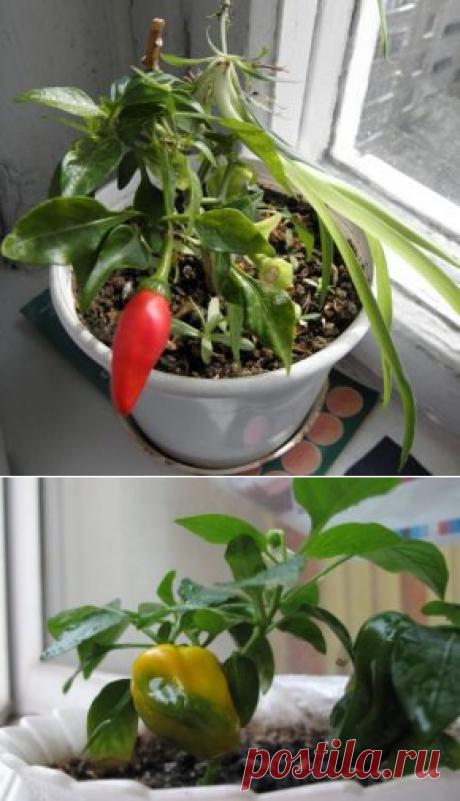 El pimiento: la cultivación y la partida en las condiciones de casa