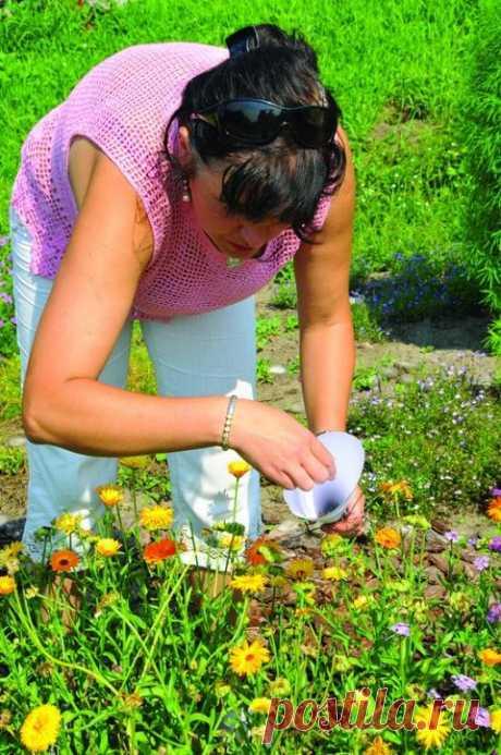 Как собрать семена однолетников? » Женский Мир