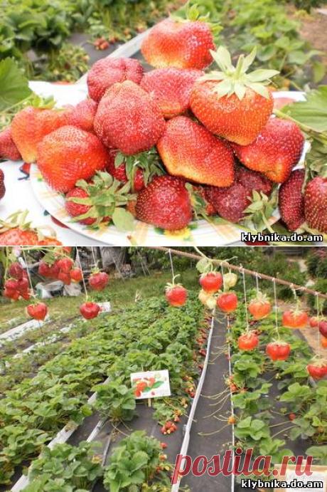 Такие результаты вам и не снились!)))) Золотая мечта каждого садовода!