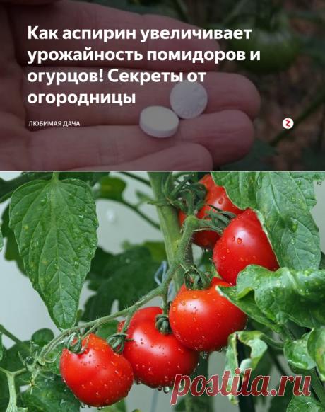 Как аспирин увеличивает урожайность помидоров и огурцов! Секреты от огородницы | Любимая Дача | Яндекс Дзен