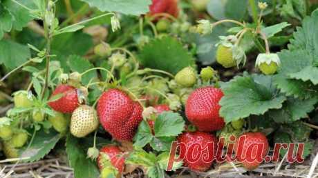 Чем подкомить клубнику ранней весной :: Сад и огород