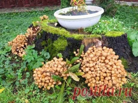 Как на даче выращивать большой урожай опят