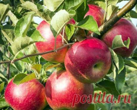 Apple-tree – diseases and their treatment - Diaries of summer residents