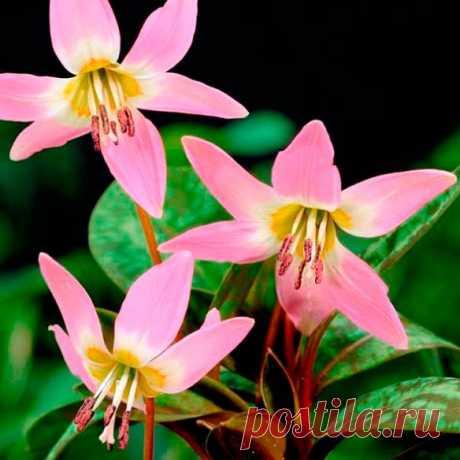 Многолетний садовый цветок Эритрониум (Erythronium). Семейство: лилейные (Liliaceae)  Синонимы: кандык  Луковичный травянистый многолетник. Луковица удлиненная, 4-5 см в длину и 1 см в диаметре. Листья прикорневые, широколанцетные, сочные, темно-зеленые с фиолетово-красными пятнами. Цветки розовые, белые, желтые или красно-фиолетовые. Цветет в апреле - мае.  Основные виды Э.европейский, собачий зуб (E.europaeum, E.dens-canis) - высотой 12 см, цветки темно-пурпурово-красные.