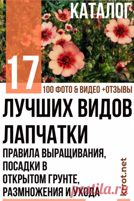 Лапчатка: Описание 17 Видов, Посадка, Уход (100 Фото)+Отзывы