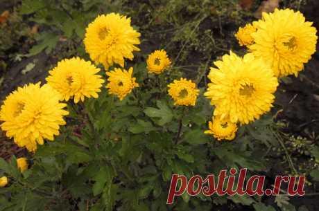 Секреты выращивания хризантемы — 6 соток