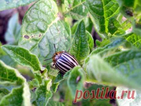 13 народных способов борьбы с колорадским жуком — Полезные советы
