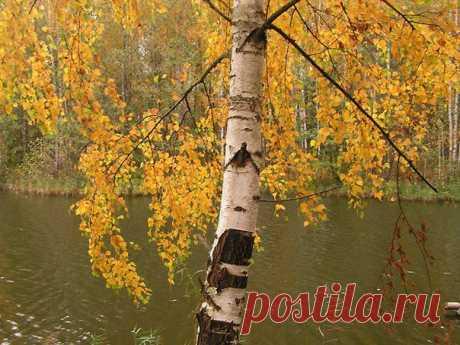 """Берёзка в октябре.  От холода берёзка пожелтела, Чарует золотой её наряд, О скором листопаде то и дело Взволнованные листья говорят.  Пройдёт неделя, две, и нас покроет Лёд тоненький, лежащих на земле, А через месяц-два никто не вспомнит О нас в метель и стужу в феврале.  Пока же в ослепительном наряде Осеннего октябрьского дня Берёзка шелестит: """"Я при параде! Такой, друзья, запомните меня."""" 2013"""