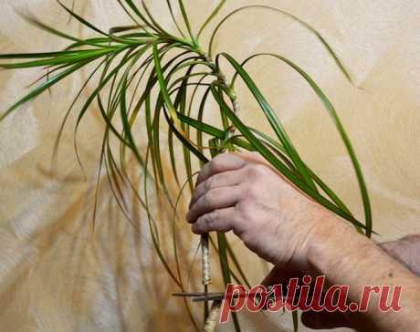 Как обрезать драцену, чтобы снова получить красивое растение — Мир интересного
