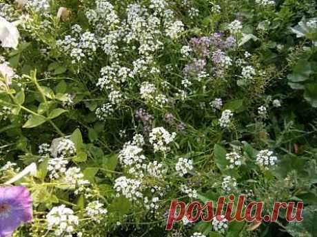 Алиссум - образует стелющийся ковёр из нежных цветов с медовым ароматом.