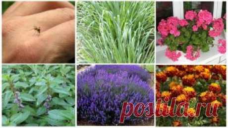 Какие растения отпугивают комаров - травы, деревья и цветы
