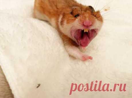 Зевающие хомячки выглядят немного пугающе . Тут забавно !!!