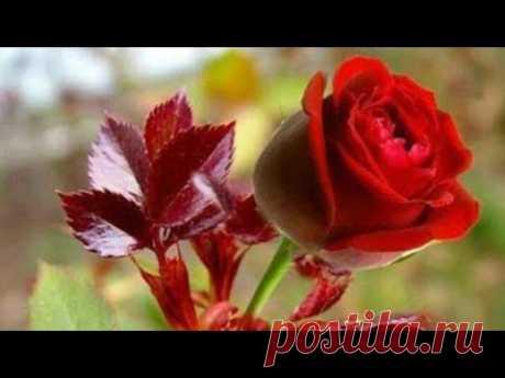 Como plantar  mini rosas em vasos
