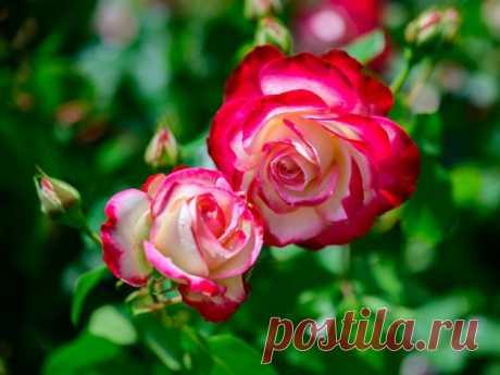 Мои двухцветные розы — на Дальнем Востоке и Кубани. Сравнительные характеристики сортов. Фото — Ботаничка.ru