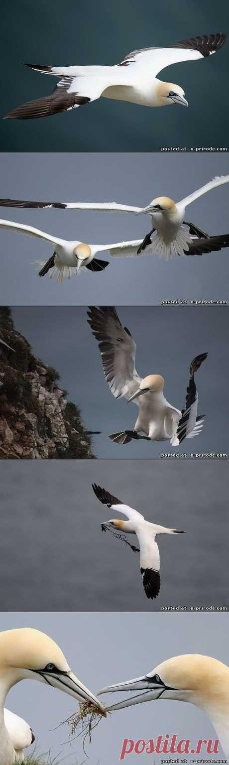 Олуша - Фото мир природы