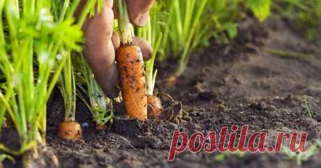 Чем подкормить морковь после прореживания? Такой вкусный корнеплод, как морковь, выращивают все огородники. Оранжевый овощ ценится за питательные свойства, его широко используют в кулинарии. Особенно полезна морковь, богатая кератином, для дет...