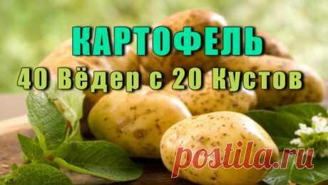 Как Вырастить Картофель - С 20-ТИ КУСТОВ СОБРАТЬ 40 ВЁДЕР Как Вырастить картофель, так чтобы собирать с одного куста — целое ведро картофеля? Об этом знают не многие, и сейчас я вам расскажу как это сделать. Я нашла в Журнале о садоводстве и применила на практике, результат меня просто удивил, вот такие замечательные советы: