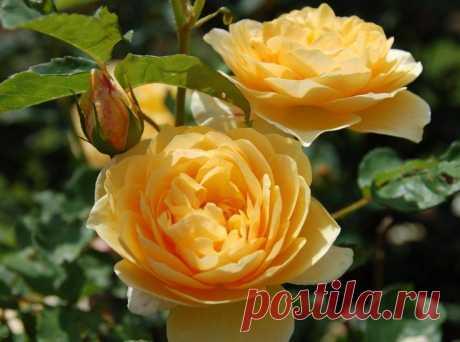 Чайная роза – описание, сорта, уход, свойства, фото