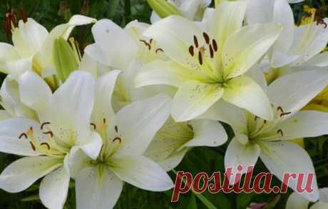 ЧТОБЫ ЛИЛИИ ЦВЕЛИ ПЫШНО Лилии украшают сады многих дачников, и это не случайно, лилия – королевский цветок. Однако, бывает так, что цветут лилии или одиночными цветками, или сами соцветия мелкие. Почему так? Опытные цветоводы говорят: «Лилии не правильно подкормили». Давайте разберемся, как правильно подкармливать.\ 1. В начале июня, лилиям не хватает азота, его необходимо срочно пополнить. Для этого приготовим питательный раствор. Берем 10 литровое ведро воды и добавляем ...