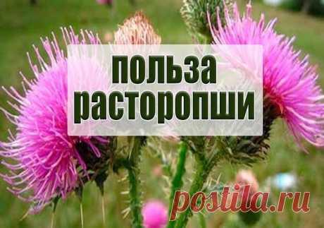 РАСТОРОПША - ЛЕЧИТ ВСЕ !