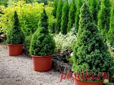 Деревья и кустарники Канадская ель — северная красавица для умеренных широт   6 соток