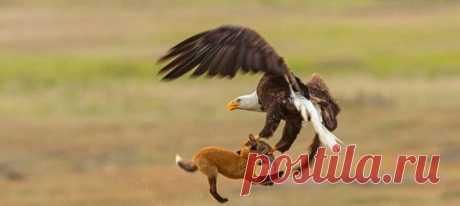 Орлан решил, что проще отобрать добычу у юной лисицы, чем охотиться самому, но та сдаваться не собиралась. Американскому фотографу удалось сделать несколько невероятно редких кадров 🦅