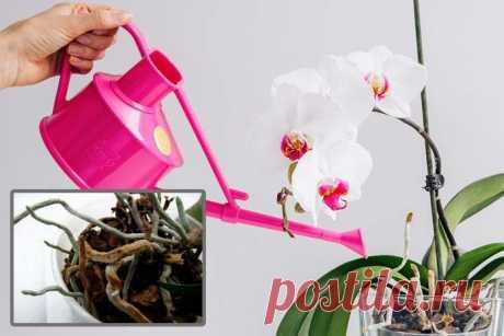 Как правильно поливать Фаленопсис в домашних условиях