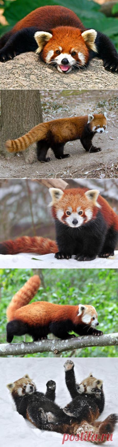 Смотреть изображения малых панд | Зооляндия
