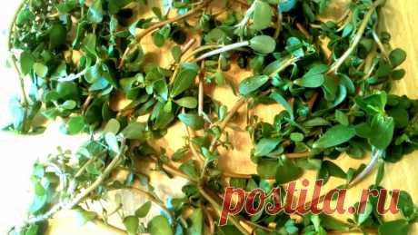 Портулак: лечебные свойства и рецепты приготовления Портулак огородный – это однолетнее растение, широко распространенное в регионах с теплым климатом.Растение неприхотливое.