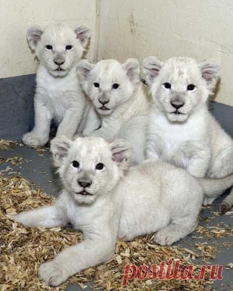 Зоопарк крупнейшего города Канады пополнился четырьмя редкими и очаровательными обитателями. Видео о малышах не заставило себя долго ждать.
