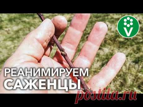 НЕ ПРОСЫПАЮТСЯ САЖЕНЦЫ, ЧТО ДЕЛАТЬ? Как оживить саженцы плодовых деревьев