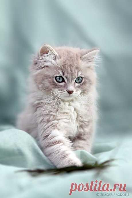 Fluffy blue-eyed ragdoll kitten - Imgur