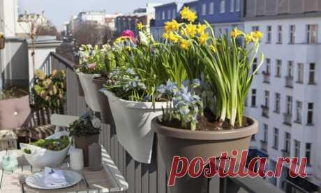 Луковичные цветы на балконах и лоджиях