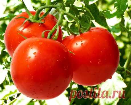 ТОП-9 СЕКРЕТОВ ХОРОШЕГО УРОЖАЯ ПОМИДОРОВ Секрет 1: полезное опрыскивание Чтобы повысить урожайность помидорных кустов, во время цветения второй и третьей цветочных кистей очень хорошо опрыскать растения слабым раствором борной кислоты. Бор «поможет» прорастанию пыльцы, завязыванию и росту плодов. Наряду с этим, он ещё и простимулирует образование новых точек роста, и поспособствует увеличению сахара в плодах. Только представьте: воспользовавшись этим советом, вы сможете по...