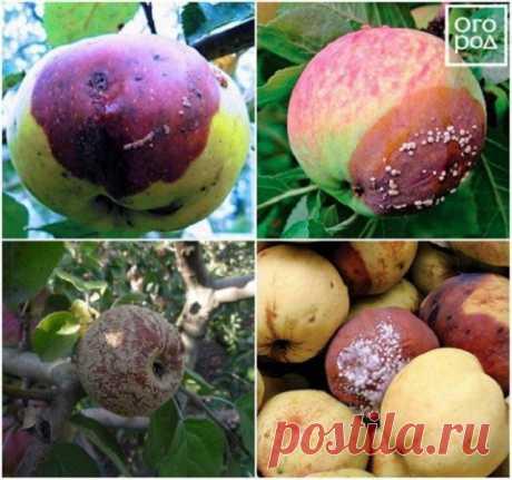 Яблоки гниют прямо на дереве – в чем причина и что нужно делать | Яблоня, груша (Огород.ru)