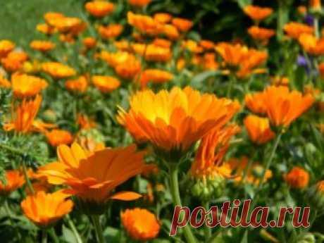 От чего помогает календула 🚩 Нетрадиционная медицина