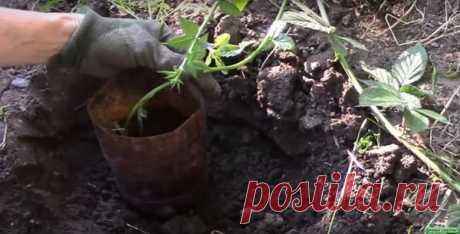 Как быстро размножить кусты ежевики и получить вкусные плоды? Советы для дачников и садоводов | Дачные секреты! | Яндекс Дзен