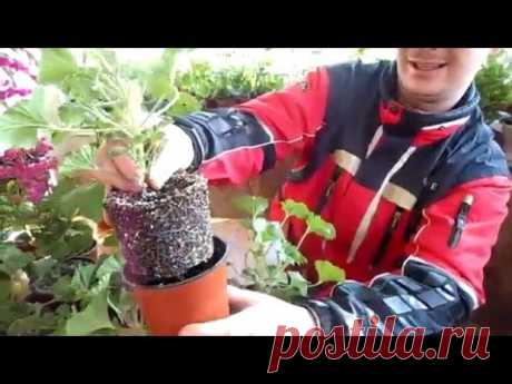 КОРОЛЕВСКАЯ ПЕЛАРГОНИЯ(ГЕРАНЬ) №2 ОБРЕЗКА и УХОД. - YouTube