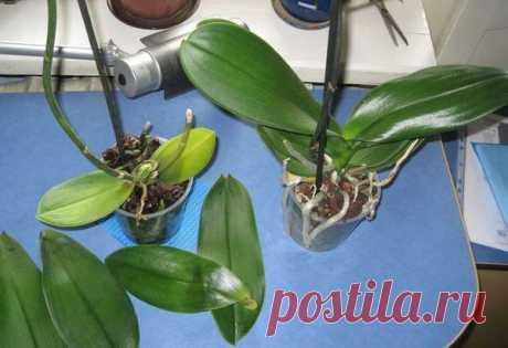 Чому жовтіє і опадає листя вашої орхідеї, та як цього уникнути У цій статті хочемо розповісти Вам причини, через які опадає та жовтіє листя орхідеї, та що робити щоб цього уникнути.    В наш час у кожної господині на підвіконні можна зустріти дуже гарну квітку. Вона має назву орхідея або фаленопсис. Але може так трапитись, що орхідея починає згасати. Це відбува