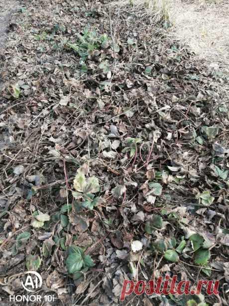 готовим клубничную грядку к сезону, если осенью не успели