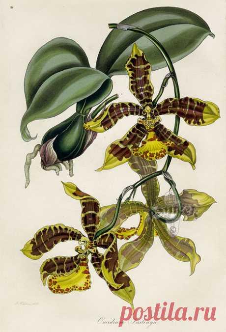 Paxton Magazine Botany Orchids 1834. Цветочные иллюстрации - орхидеи.