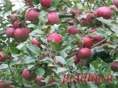 Как заставить яблоню, грушу плодоносить