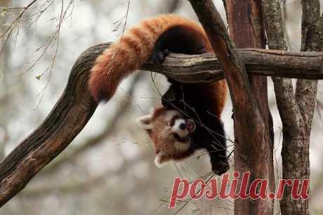 Красная панда: Настолько милые, что даже их поединки добрые и смешные