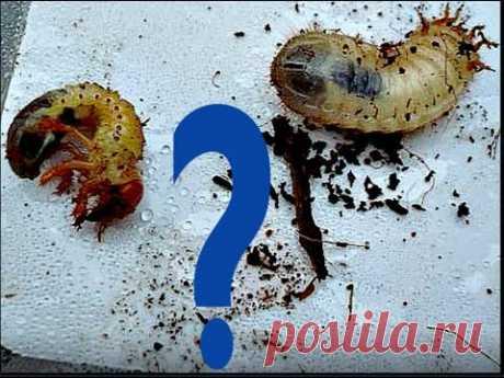 Личинки медведки, личинки майского жука и бронзовки  Отличия - YouTube