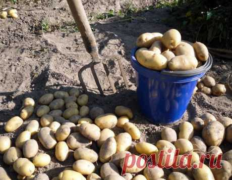 Что влияет на созревание картофеля. Как правильно копать картошку