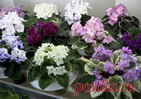Размножение фиалок в домашних условиях: укореняем листья фиалки | Огород